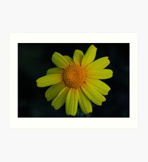 Chrysanthemum coronarium Art Print
