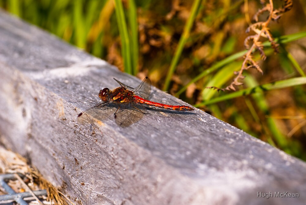 Dragonfly, Common Darter, Sympetrum striolatum, male by Hugh McKean