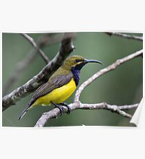 Yellow-bellied Sunbird(Male) Poster