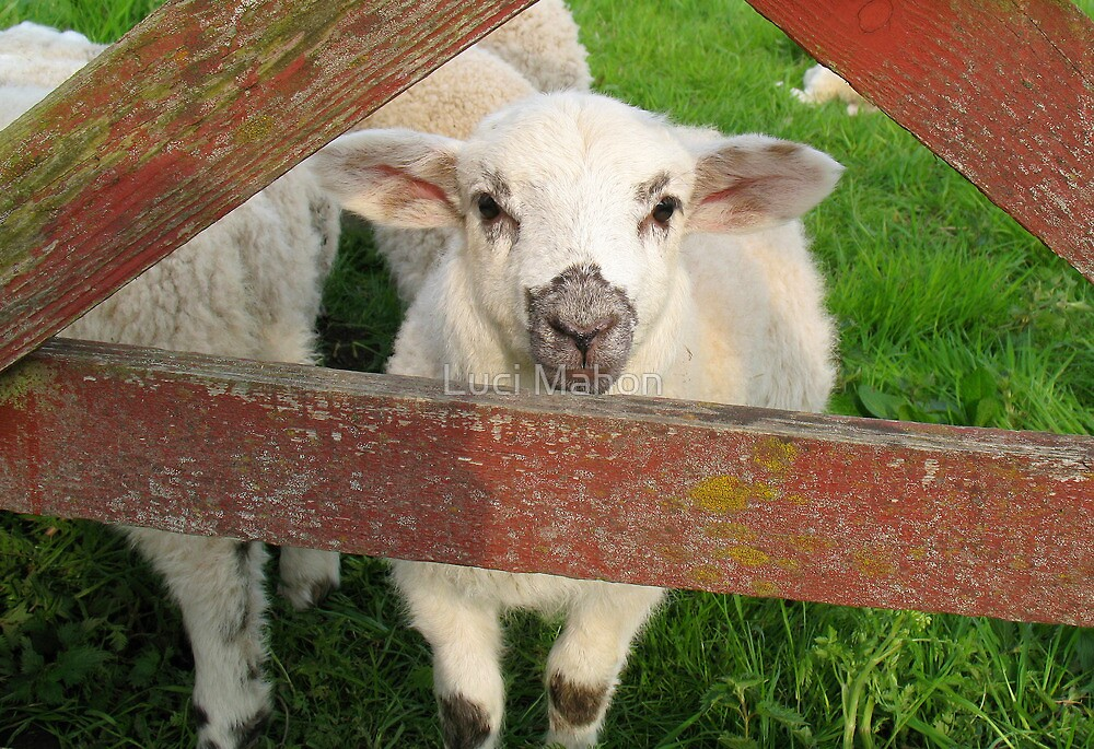 Lamb by Luci Mahon