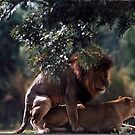 Mating Lions by Winston D. Munnings