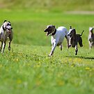 Whippets, Whippet, Whippets by whippeteer