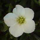 little flower by Hucksty
