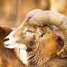 A mufflon by iulix