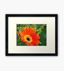 Orange Gerbera Framed Print