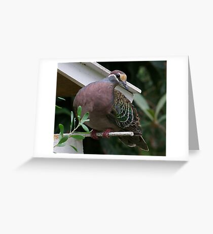 Bronzewing Pidgeon Greeting Card
