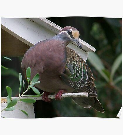 Bronzewing Pidgeon Poster
