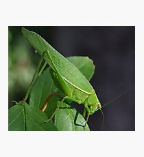 Katydid Close-Up Photographic Print