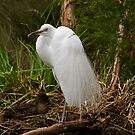 Great Egret by KathyT