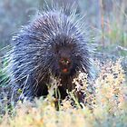 Porcupine in the meadow by Jim Cumming