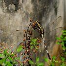 Dragonfly by Akash Puthraya