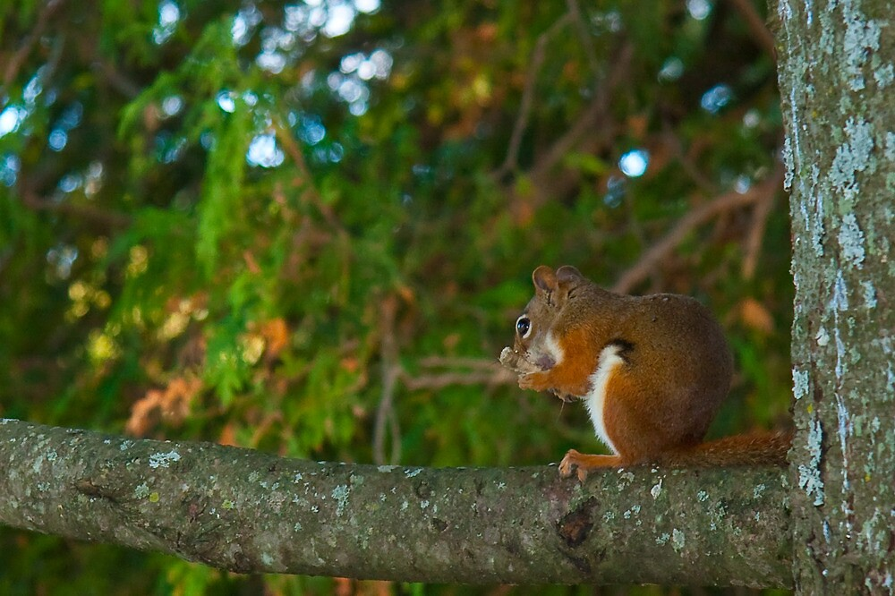 Red Squirrel by Benjamin Brauer