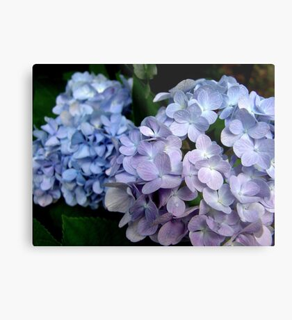 Hydrangeas, Blue and Lavender Metal Print