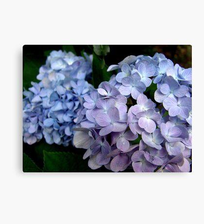 Hydrangeas, Blue and Lavender Canvas Print