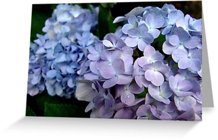 Hydrangeas, Blue and Lavender by May Lattanzio