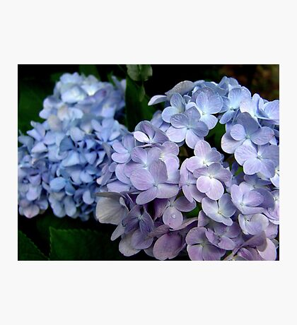 Hydrangeas, Blue and Lavender Photographic Print