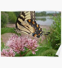 Tiger Swallowtail on Milkweed Poster