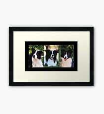 Border Collies Framed Print