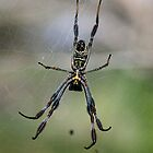 Golden Orb Underbelly by Murray Wills