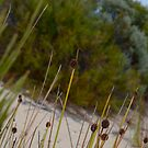 Isolepis in the Pondalowie dunes by catdot