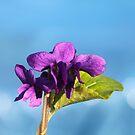 Violets in Blue by Pamela Jayne Smith