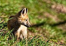 Fox Kit Redo by Jay Ryser
