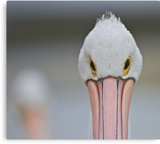 Pelican Eyes by Mark  Lucey
