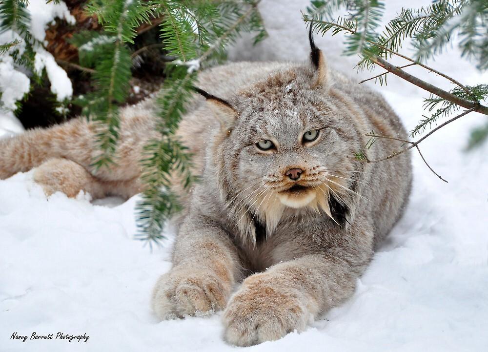Quot Canada Lynx Quot By Nancy Barrett Redbubble