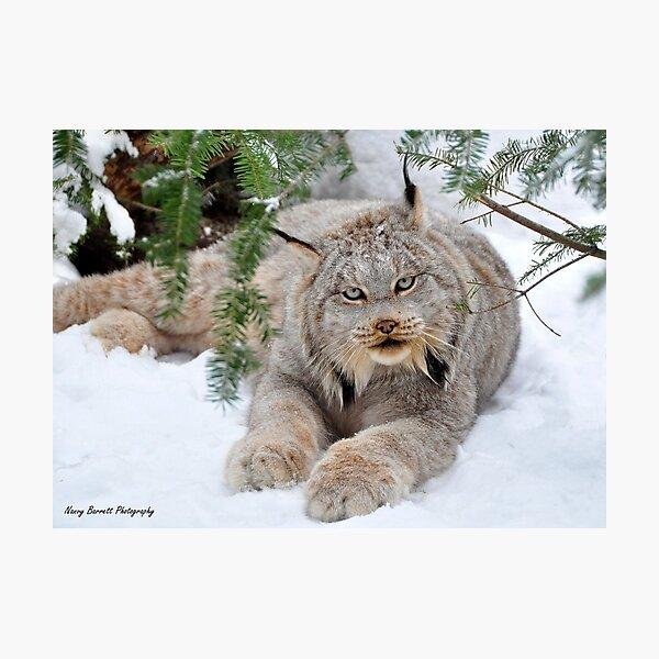 Canada Lynx Photographic Print