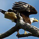 Bald eagle landing 2 by Anthony Goldman