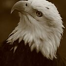 Bald Eagle  by naturalnomad