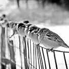 finches by Melissa Fiene