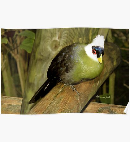 White-Crested Turaco ~ a Green Bird Poster