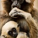 Pileated Gibbon by HelenBeresford