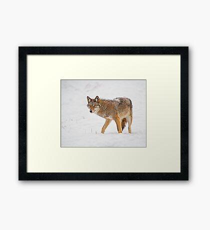 Weary Coyote Framed Print