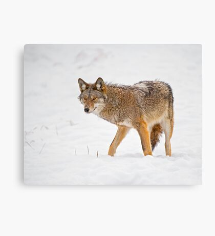 Weary Coyote Canvas Print