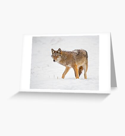 Weary Coyote Greeting Card