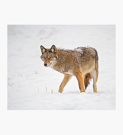 Weary Coyote Photographic Print