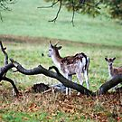 Fallow Deer   by Trevor Kersley