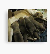 jerzy's herd Canvas Print