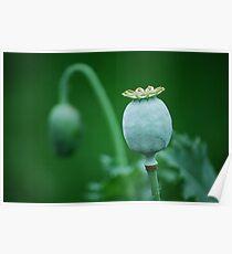 Poppy Pod  Poster
