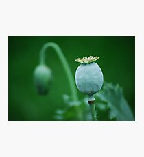 Poppy Pod  Photographic Print