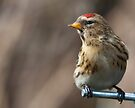 Redpoll by Ray Clarke