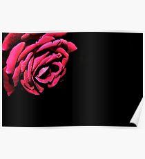 Macro - Red Rose Poster