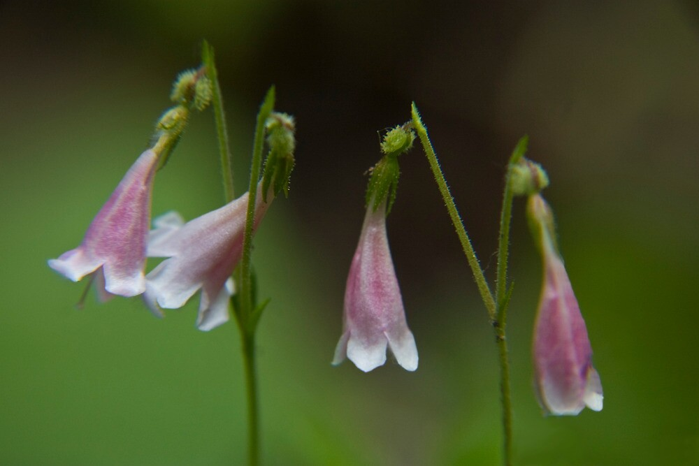 Several Twinflowers Close-up by OrPhotoJohn