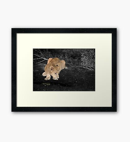 Lioness Drinking Framed Print