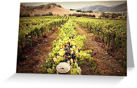 A Mudgee Vineyard by yolanda