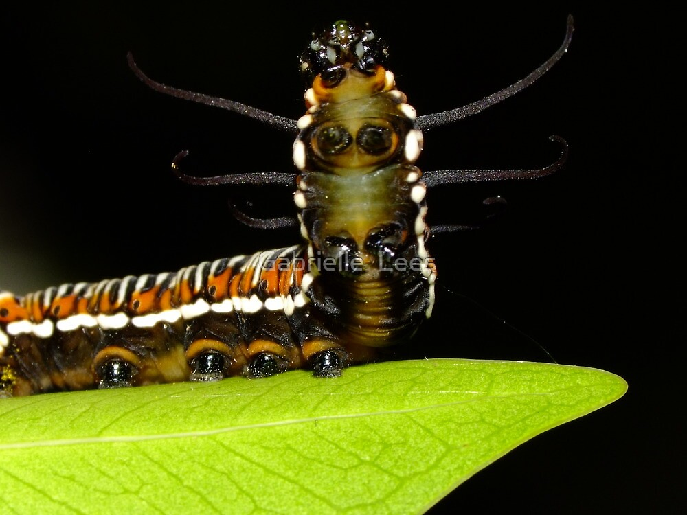 By Crikey, it's a Rearing Caterpillar! by Gabrielle  Lees