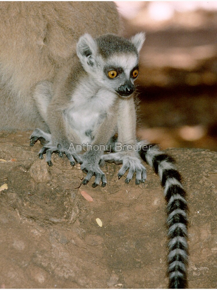 Baby lemur by dailyanimals