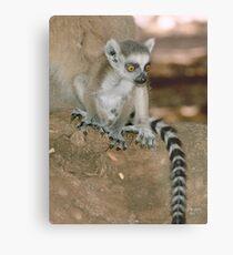 Baby lemur Metal Print